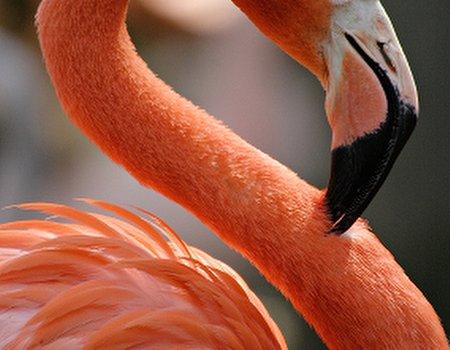 Bird beauty: Flamingos paint their quills